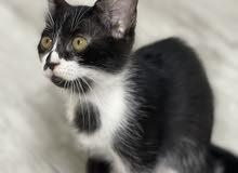قطط للبيع العمر شهرين ونص متعلمين ع اللتربوكس