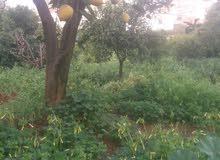 الاشجار ليمون
