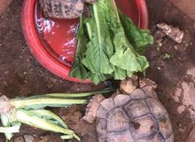 Tortoise available for adoption