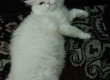 القط بحالحه جيده وخالي من الامراض