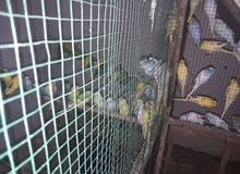 طيور حب الزوج على 10 كبار ومزاويج وشرط التبزير
