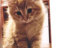 2 قط شيرازي واحد صغير وواحد كبير مجانا