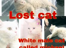 looking for a lost cat in ابحث عن قط ضايع