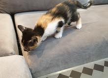 قطط اليفه ولعوبه ونظيفه جدا مجاناً