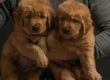 كلاب جولدن
