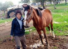 حصان للبيع في السلط.