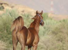 حصان صغير عمره تسعه شهور ولله يعلم بضروف