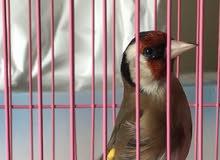 حسون للبيع ( goldfinch )