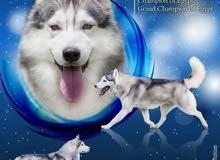 Husky puppies with pedigree جراوي هاسكي