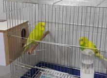 طيور بادجي حب منتج