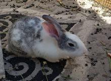 ارنب للبيع ذكر