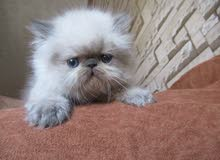 قطط هيمالايا متاحين لبيتهم الجديد