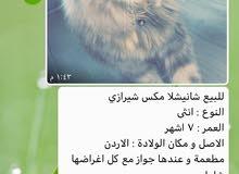 قطة رصاصي 7 اشهر لعوبة مع الاطفال