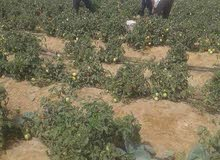 ارض زراعية مسجله بعقد نهائي و مزروعة أشجار للبيع بالفيوم الاستلام فوري وفي تسهيل