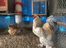 دجاج براهمة