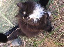 قطط هملايا صغار