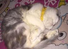 قطة شيرازي كاليكو