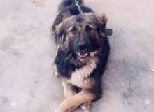 كلب للبيع او المراوسه بكلب زينه