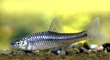 سمك زينة(pseudorasbora)