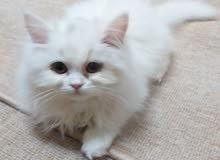 للبيع..قطة