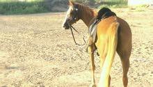حصان للبدل ببغاء نوع مكاو او كوكاتو او كاسكو