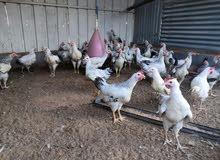 دجاج فرنسي(الكولمبي) بيور