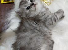 قطة شانشيلا بيور انثى العمر 40يوم