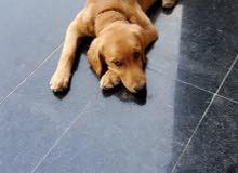 Golden Retriever puppy for sale  جرو للبيع