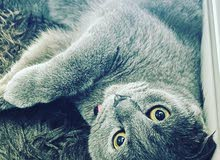 Scottish fold blue male for mating