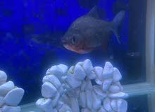 بيع سمك باكو كبير