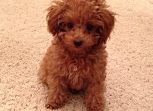 Tea Cup Toy Poodle for sell
