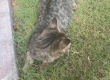 قطة شيرازية صغيرة للتبني