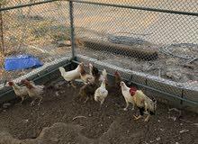 دجاج محلي بياض للبيع