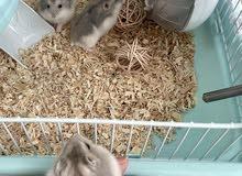 6 hamsters for adoption , هامستر روسي العدد 6