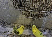 للبيع طيور الحب ( طيور البادجي )