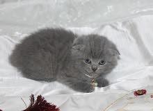 سكوتش فولد بيور للبيع pure scottish fold kitten for sale
