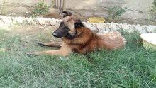 كلب بلجم العمر  2 سنة   ( ذكر )