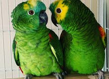 Blue fronted Amazon breeding pair for sale