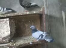 7طيور حمام ع 3
