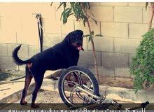 للبيع كلب روت ينفع الحراسة