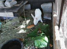 ارانب مالطي اصلي للبيع  ض100