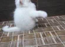 قطه كيوت
