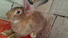 ارانب الماني للبيع