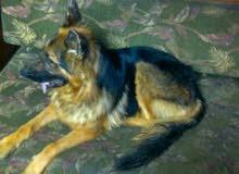 كلب جيرمن عمرة سنة للبيع