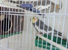 عصافير للبيع او للبدل على طيور