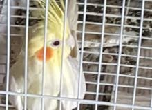 أنثى طائر مع القفص