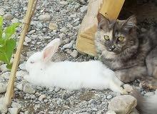 قطة شيرازي وأرنب