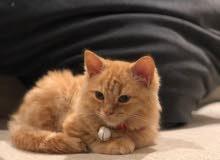 Persian Kitten Vaccinated + Microchip + Accessories + Passport