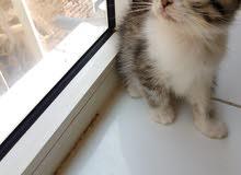 قطط شيرازي صغير هجين بسعر مغغغري