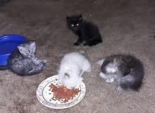 خمس قطط عمرها شهرين